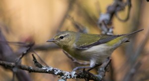 Tennessee Warbler—a tricky species to detect and identify, but knowing their songs and calls helps a lot!